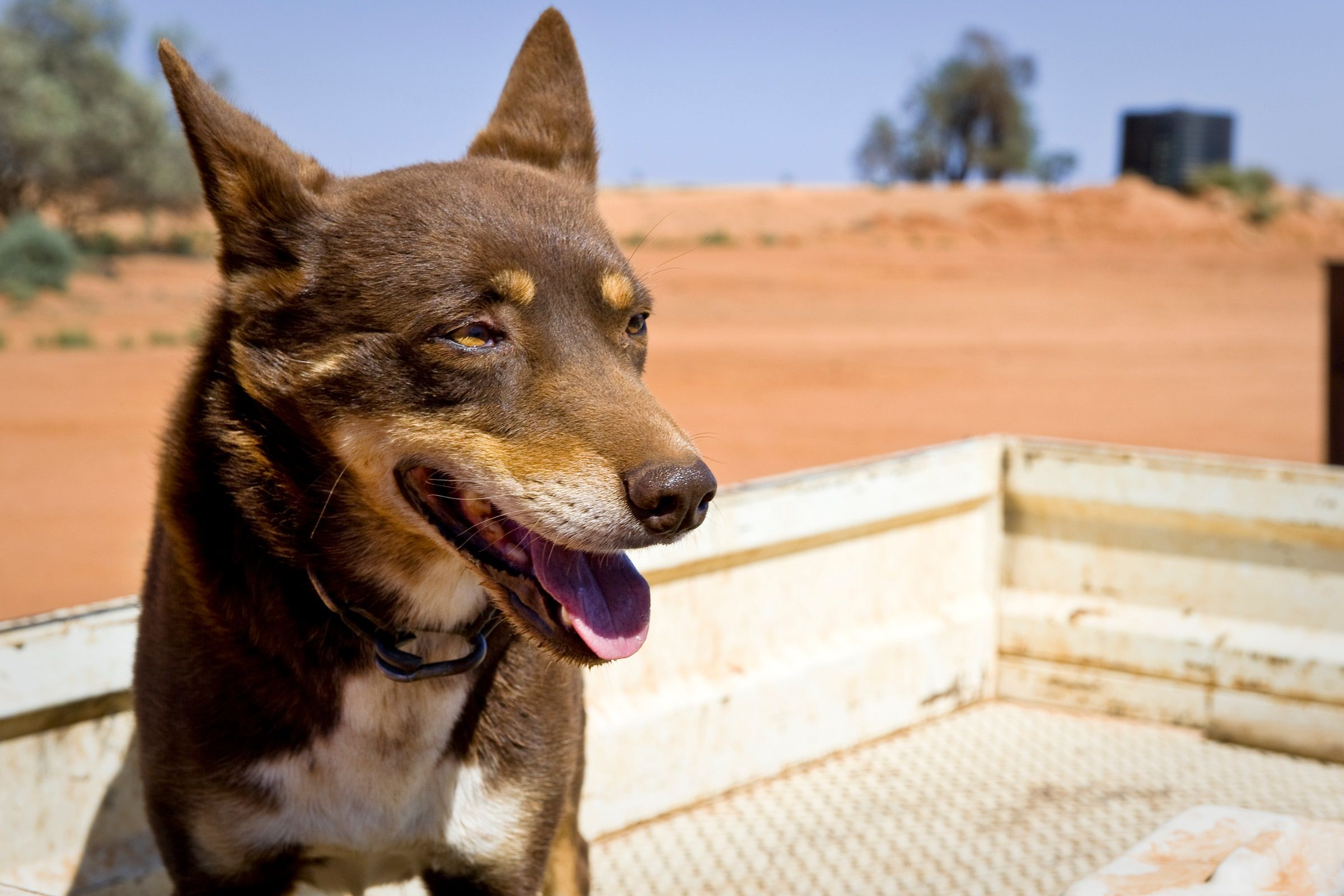 Australian Kelpie Dog Breed Information & Pictures   Dog
