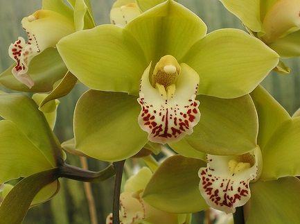 Boat Orchids Cymbidium Plants Medicinal Plants Natural Asthma Remedies