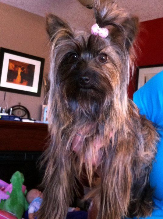 My Carkie Abby 1 2 Yorkie And 1 2 Cairn Terrier 4 5lbs Full
