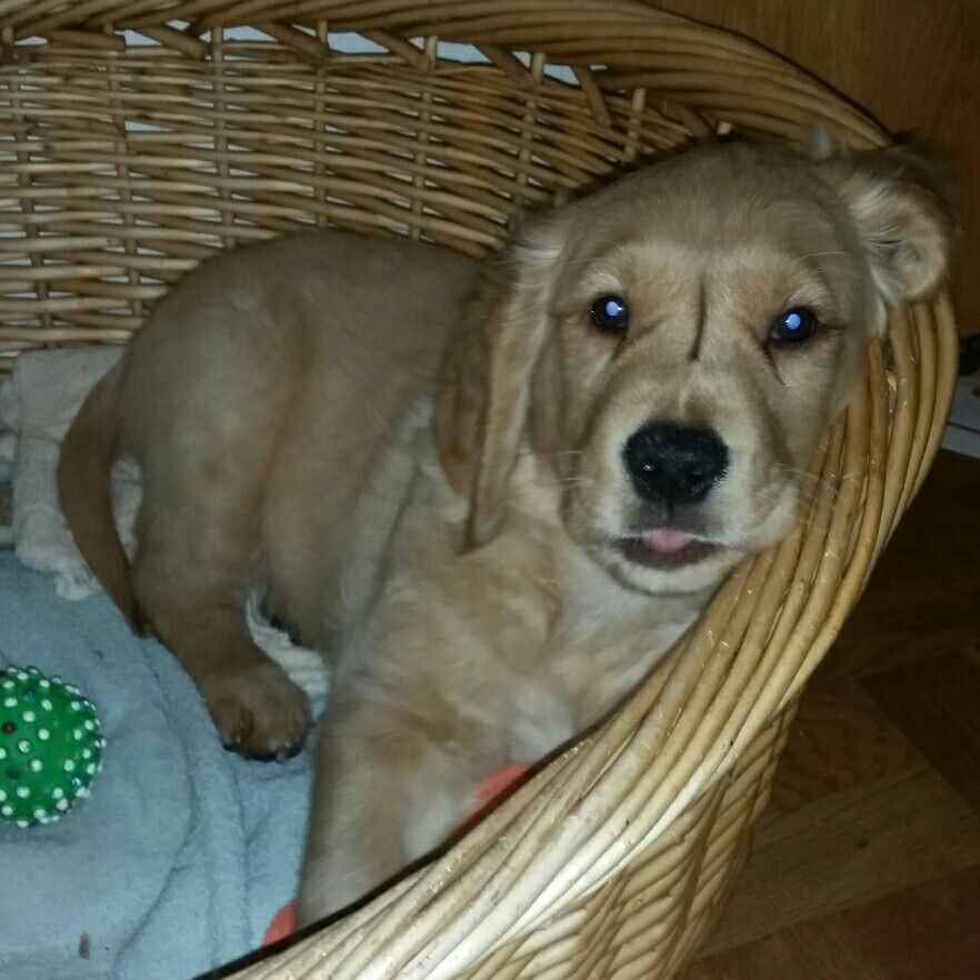 Akela Male Golden Retriever Puppy 9 Weeks Old Retriever Puppy