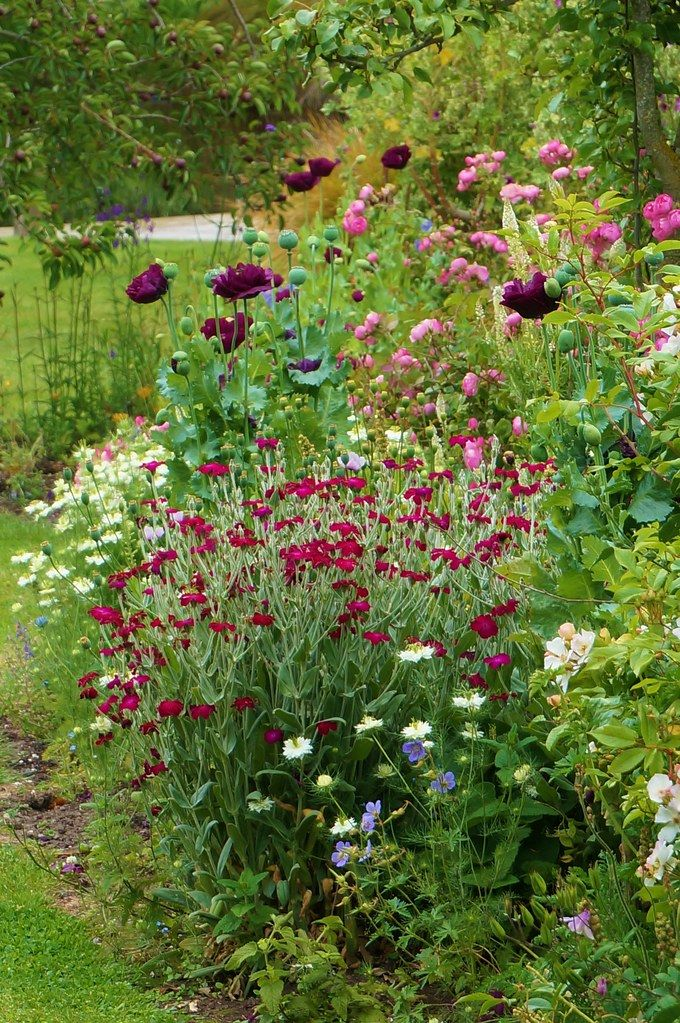 Lychnis coronaria, Papaver in the reseeded border Karl