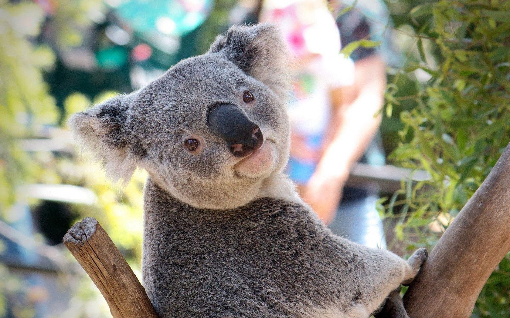 Koala Hd Wallpapers And Backgrounds 3 Http Www Urdunewtrend Com Hd Wallpapers Animal Koala Koala Hd Wallpapers And Bac Australian Animals Koala Bear Koala