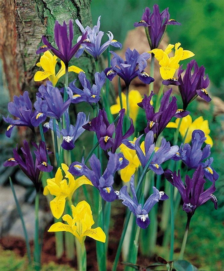 Iris Rock Garden Mixture Rock Garden Iris Iris Flower Bulb Index Bulb Flowers Iris Reticulata Dwarf Iris