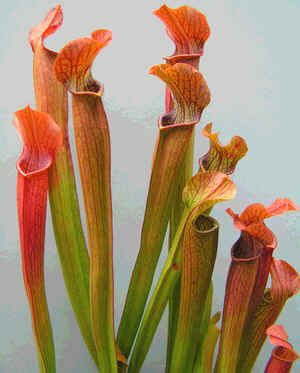 Red Pitcher Plant, Sarracenia Rubra