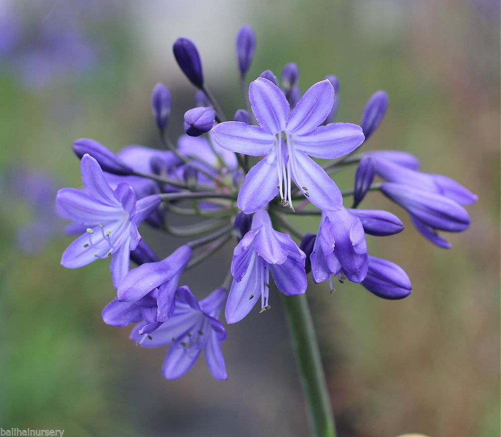 Details About New Agapanthus Robin Blue Flowers Excellent Garden Plant Garden Plants Agapanthus Blue Flowers