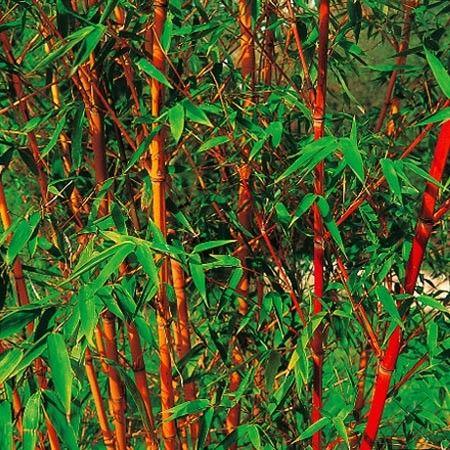 Bambou moyen phyllostachys aurea 39 holochrysa for Bambou moyen phyllostachys bissetii