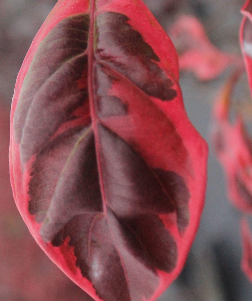 Variegated Stellar Pink Rutgers Dogwood Pink Dogwood Dogwood
