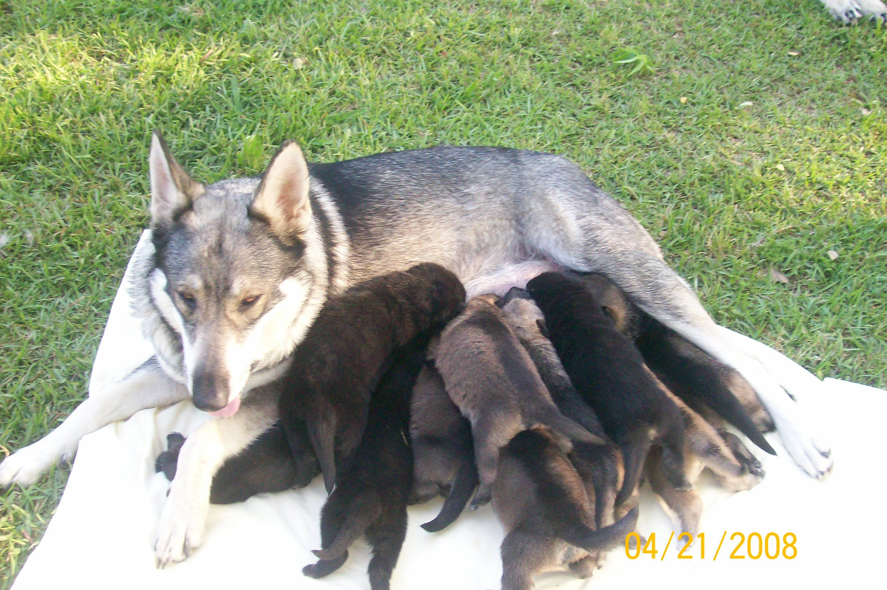 Dog Kennels GA German Shepherd Breeders, Breeders