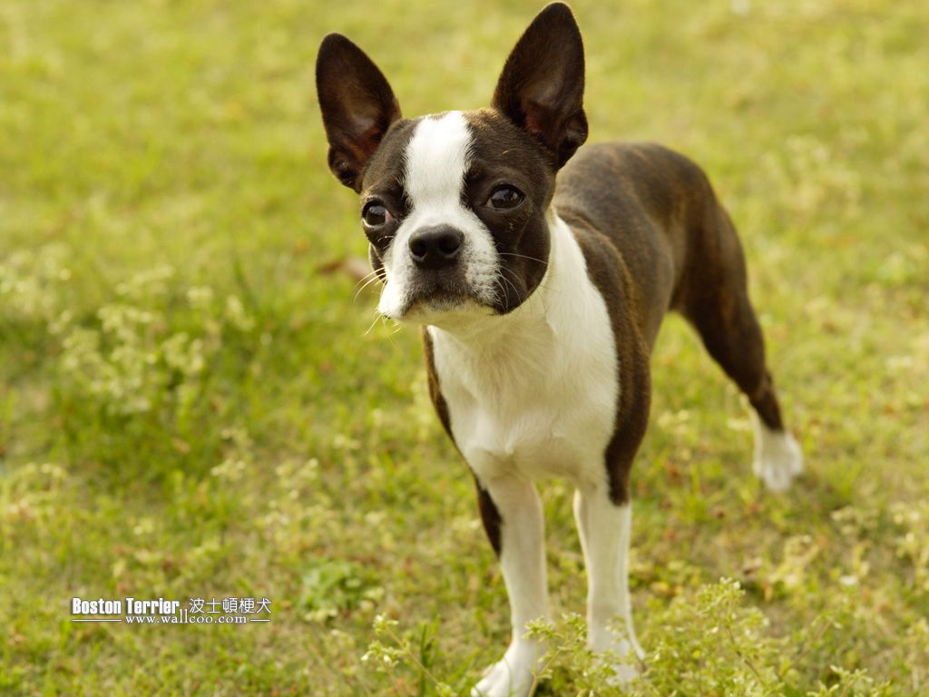 Images Of Terriers Height F 15 16 Boston Terrier Dog