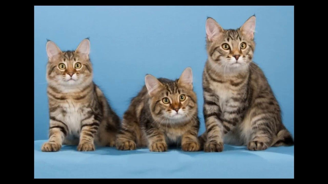 American Bobtail Cat And Kittens History Of The American Bobtail Cat B American Bobtail Cat Cat Breeds Bobtail Cat