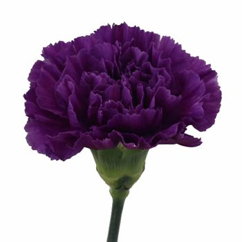 Blackish Purple Carnation Flowers Fiftyflowers Com Purple Carnations Carnations Carnation Flower