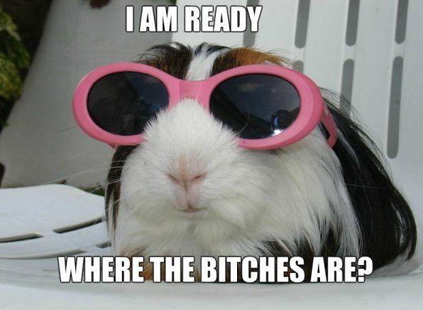 fbd4af5c090a00172f6e31b0fee5cf6a party guinea pig www meme lol com funny gifs pinterest