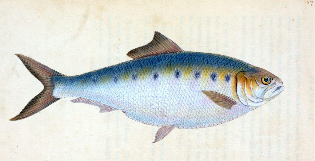 12 Free Fish Clipart Fish Clipart Free Art Prints Graphics Fairy