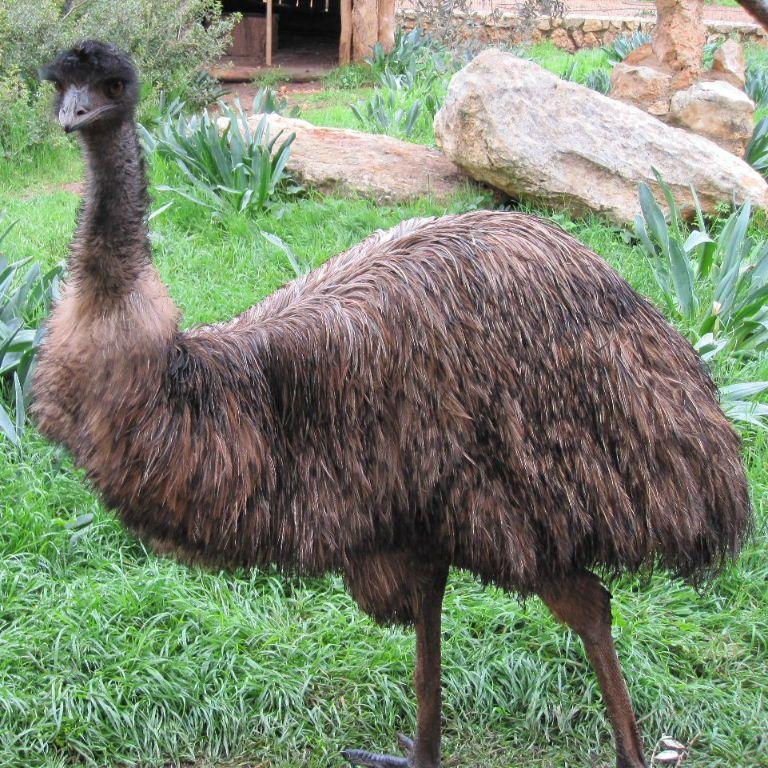 emu - Google Search | Australian animals, Animals, Wildlife