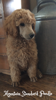 Standard poodle puppies for sale red, blue, silver, apricot