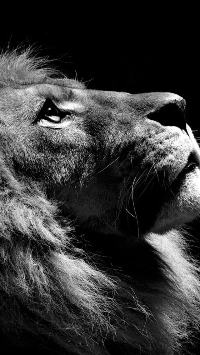 Lion Wallpaper For Iphone And Android Black And White Lion Lion Wallpaper Lion