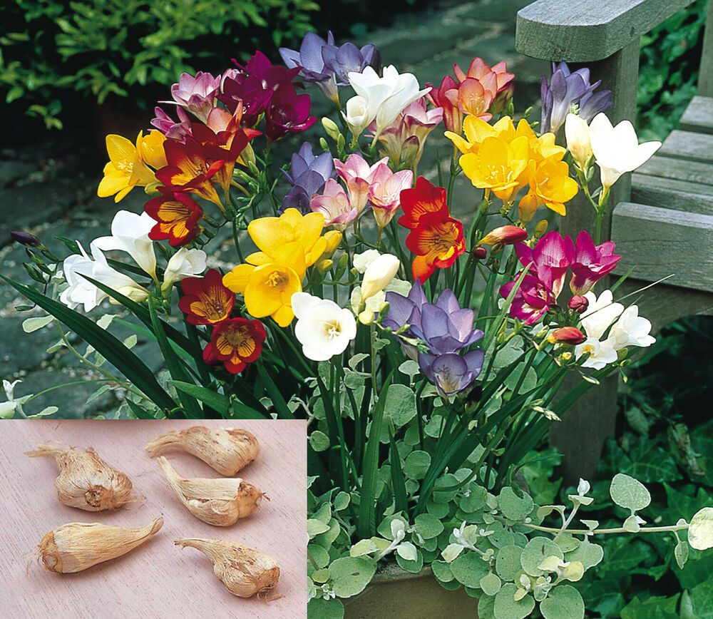 5 Freesia Flower Bulbs Mixed Freesia Flower Bulbs Indoor Outdoor Home Garden Freesiaflowerbulbs Bulb Flowers Freesia Flowers Plants