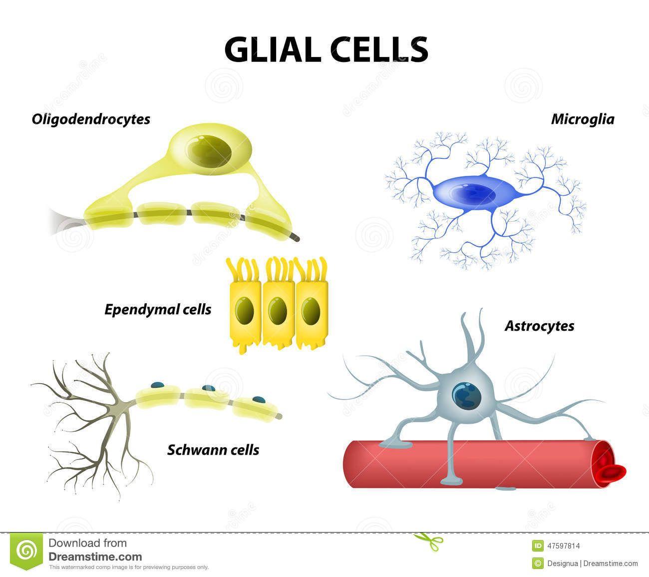 microglia and macroglia - Google Search | Physiology ...  microglia and m...