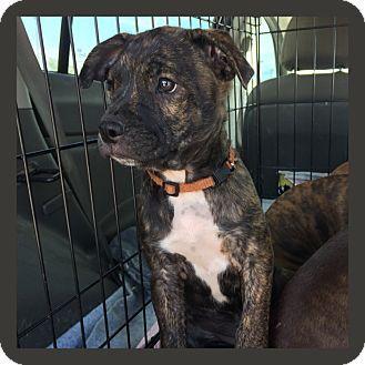 Boston Terrier/Boxer Mix Puppy for adoption in waterbury
