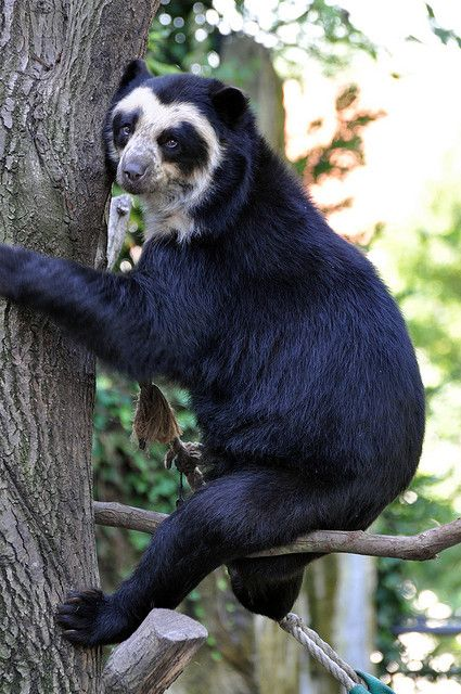 Spectacled bear (Brilbeer)