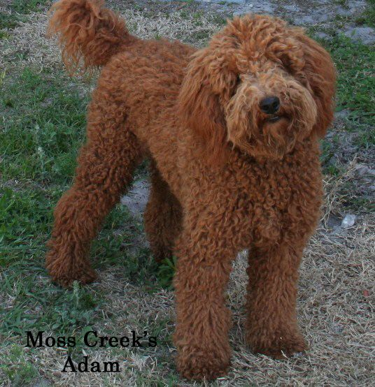 Red Goldendoodle Moyen Poodle Poodle Puppy Black Goldendoodle