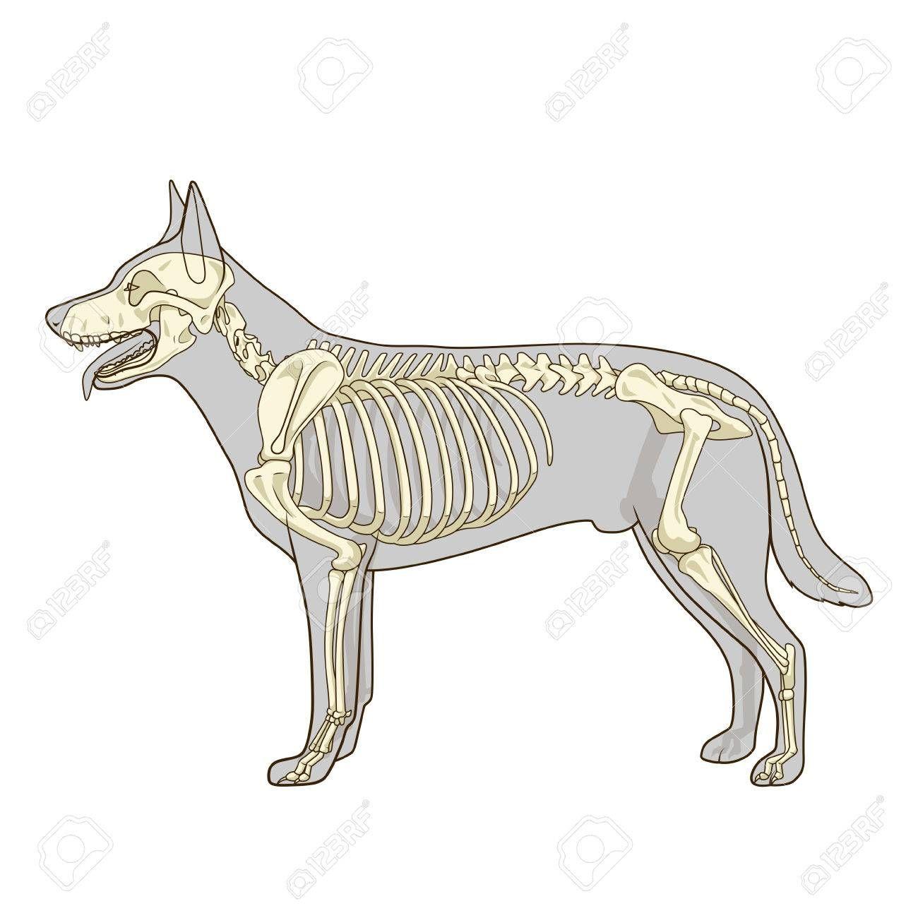 Image Associee Dog Skeleton Animal Skeletons Dog Anatomy