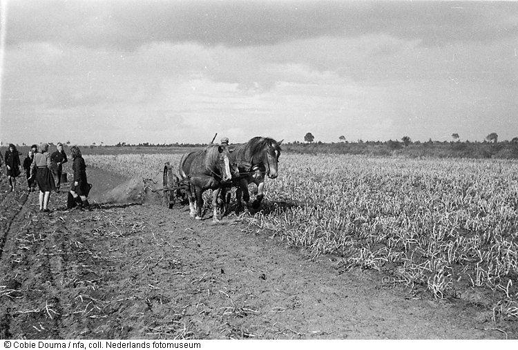 Aardappelrooien, Bellingwolde, Groningen (1944)