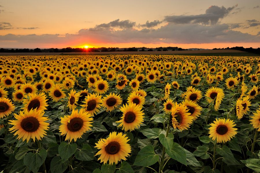 Sunflower Sunset by Andreas Jones Photo 89716427 500px