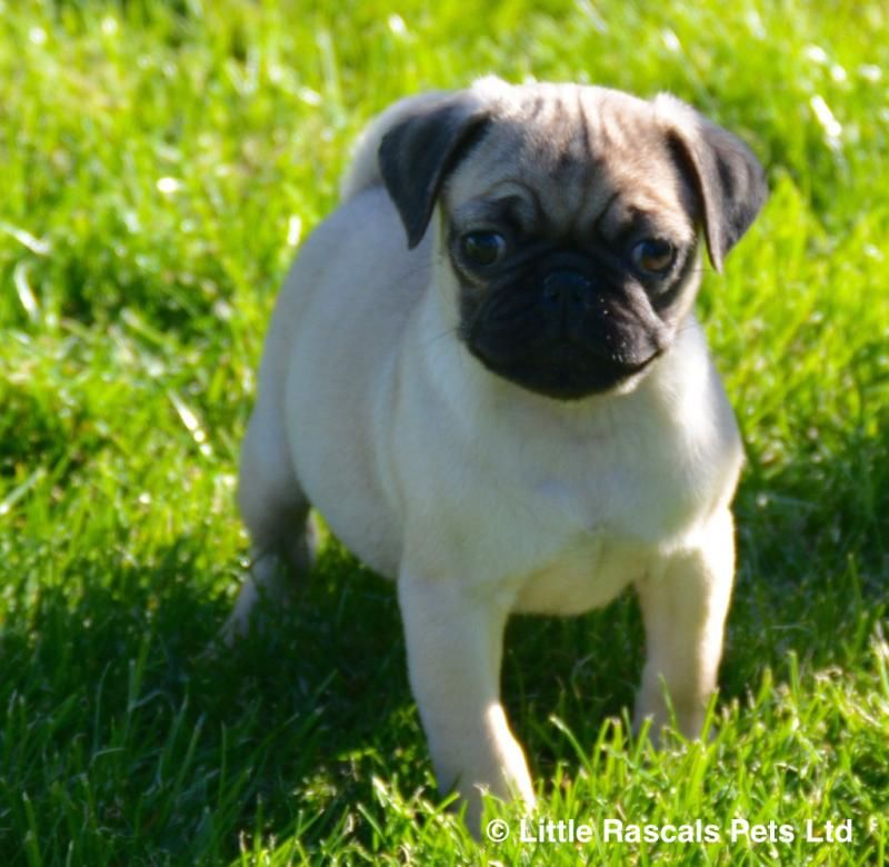Chunky Pure Pug Babies Pedigree Puppies For Sale Puppies For