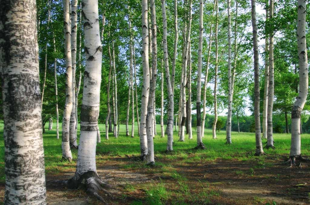 Trees. Birches.