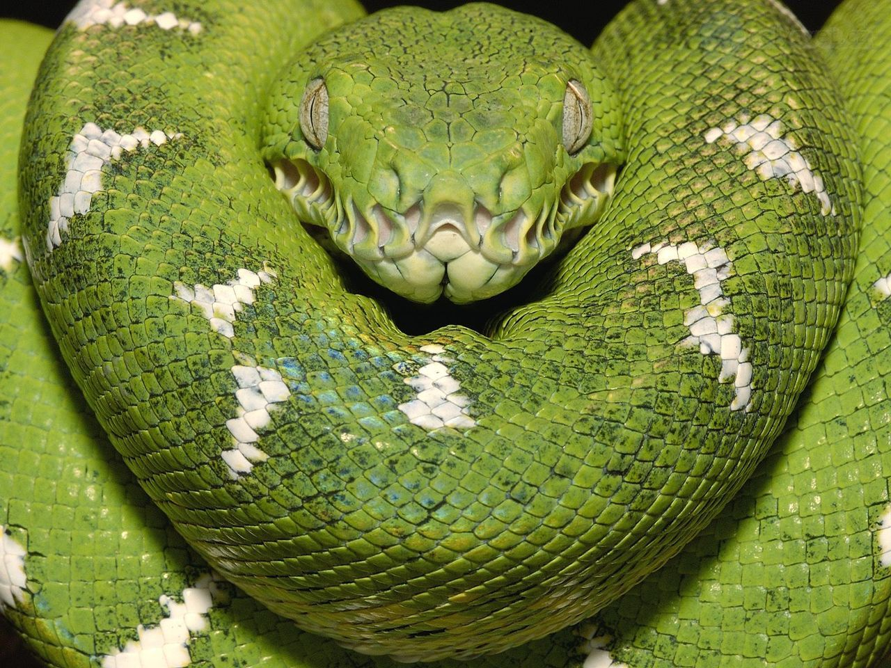 emerald-tree-boa--amazon--equador.jpg (1280×960) | Змеи | Pinterest