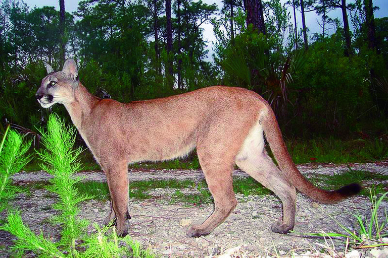 florida black panther Google Search Florida panther