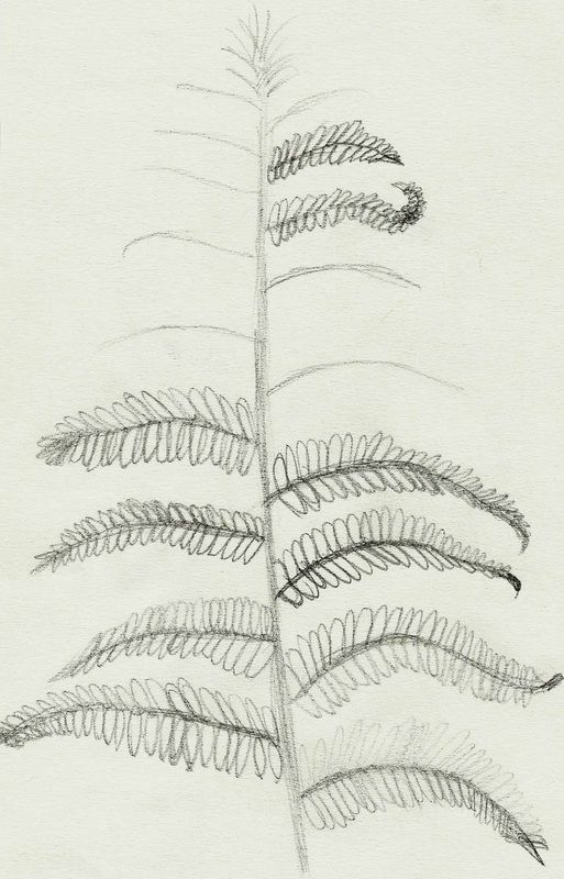 Fern. Pencil on Paper. By Kelli Cantrell. http://kcantrartideas.weebly.com/drawings.html