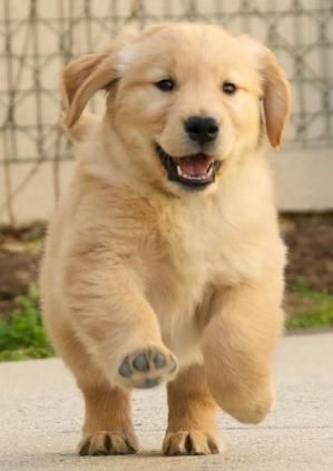 Golden Retriever Puppy Running By Isabelle Dogs Pinterest