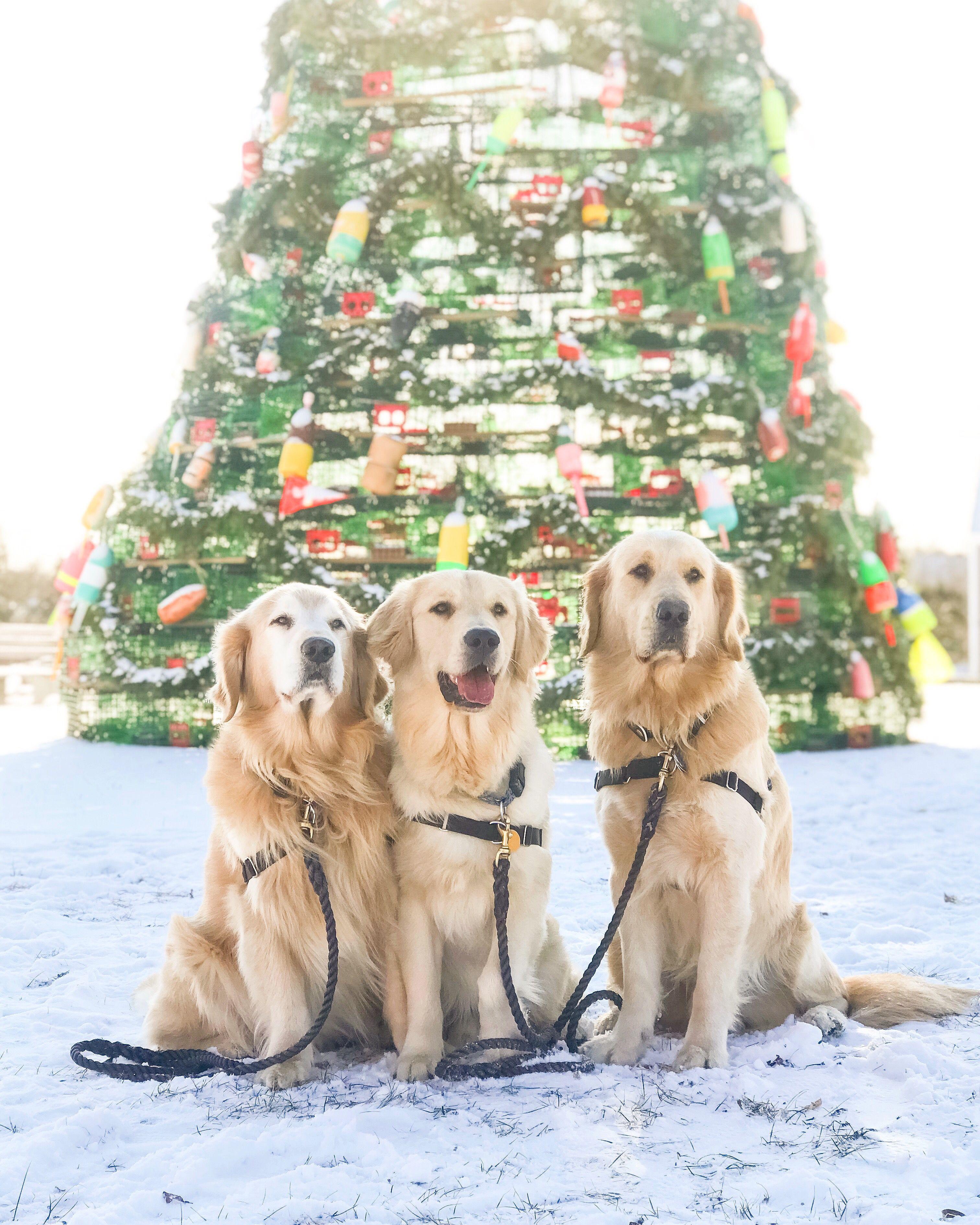 Golden Retriever Family Puppa Tavish Jasper The Friendly Golden