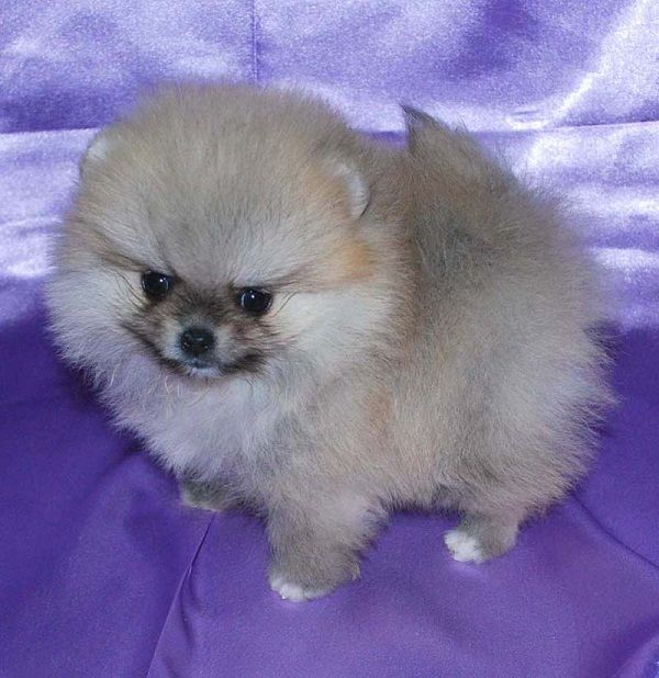 Pomeranian Puppies For Sale In Louisiana Zoe Fans Blog Pomeranian Puppy For Sale Pomeranian Puppy Puppies