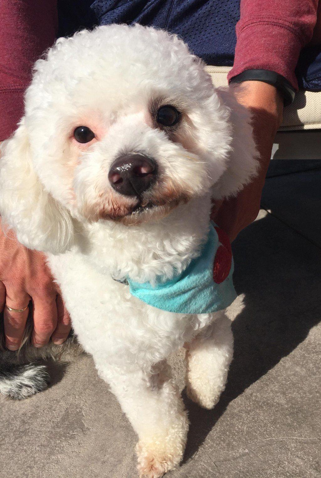 Gayweho Dogs 4 U On Dogs Bichon Frise Pets