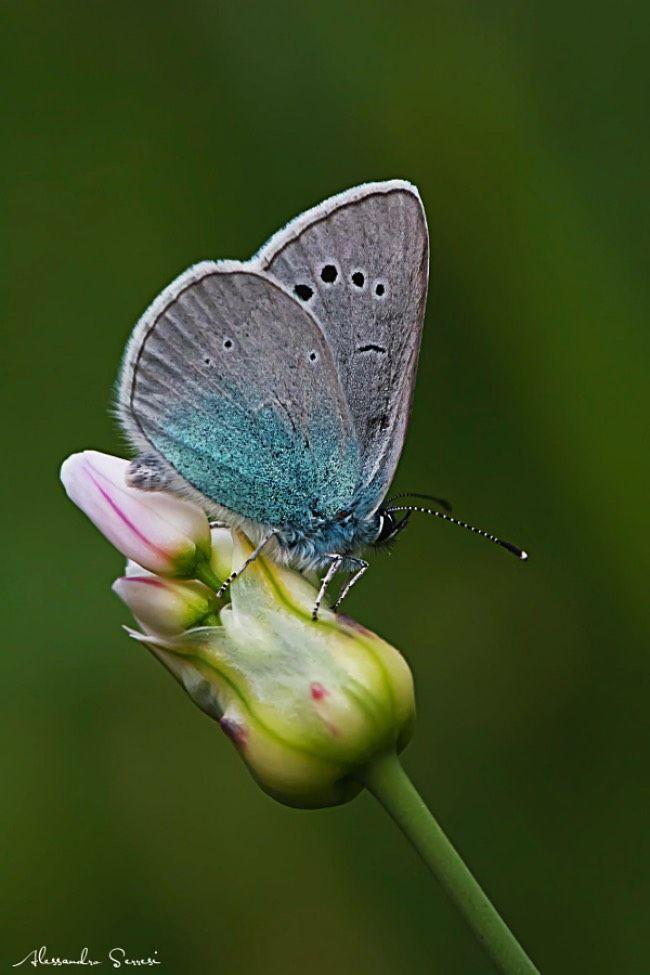 Butterfly by Alessandro Serresi.