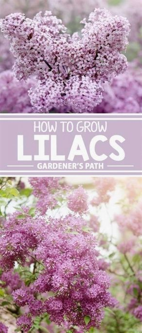 How To Grow Delicately Blooming Lilacs With Images