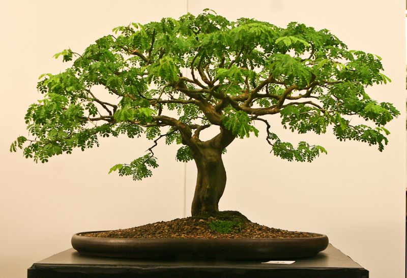 Tamarind Bonsai Wonderful Just Like A Tree On The Savannah Bonsai Tree Bonsai Tree Types Bonsai