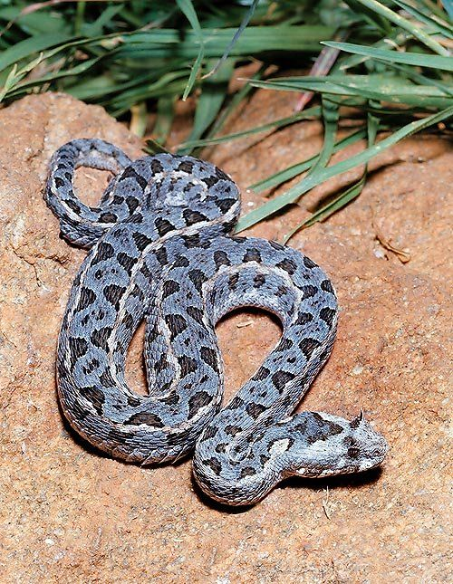 The genus Bitis is the one comprising most of the African