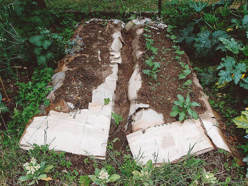 bush beans growing in a bare minimum no till garden bed - using only cardboard and