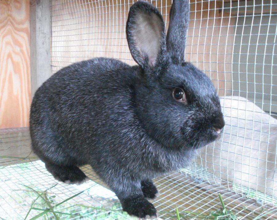 Silver Fox Rabbit Coloring Collection