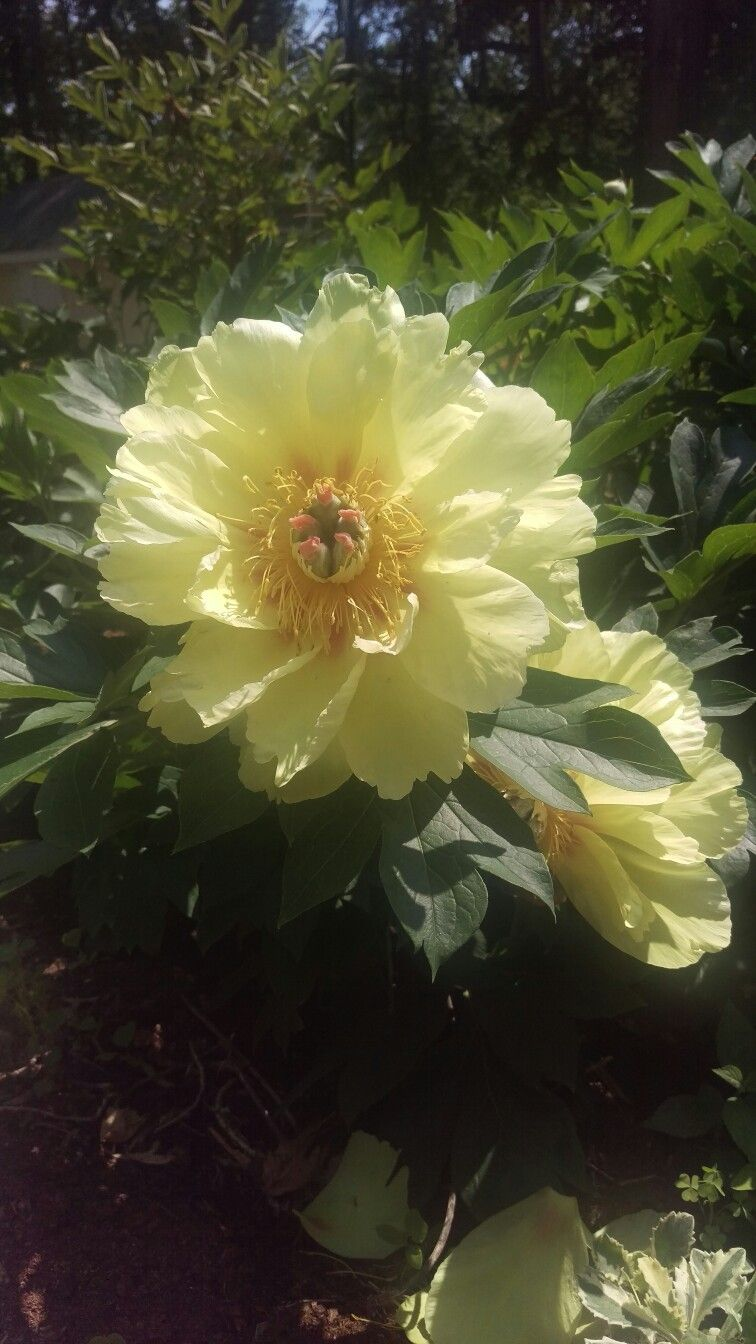 Yellow Peony Taken With Htc One M9 Phone In The Middle Of Summer