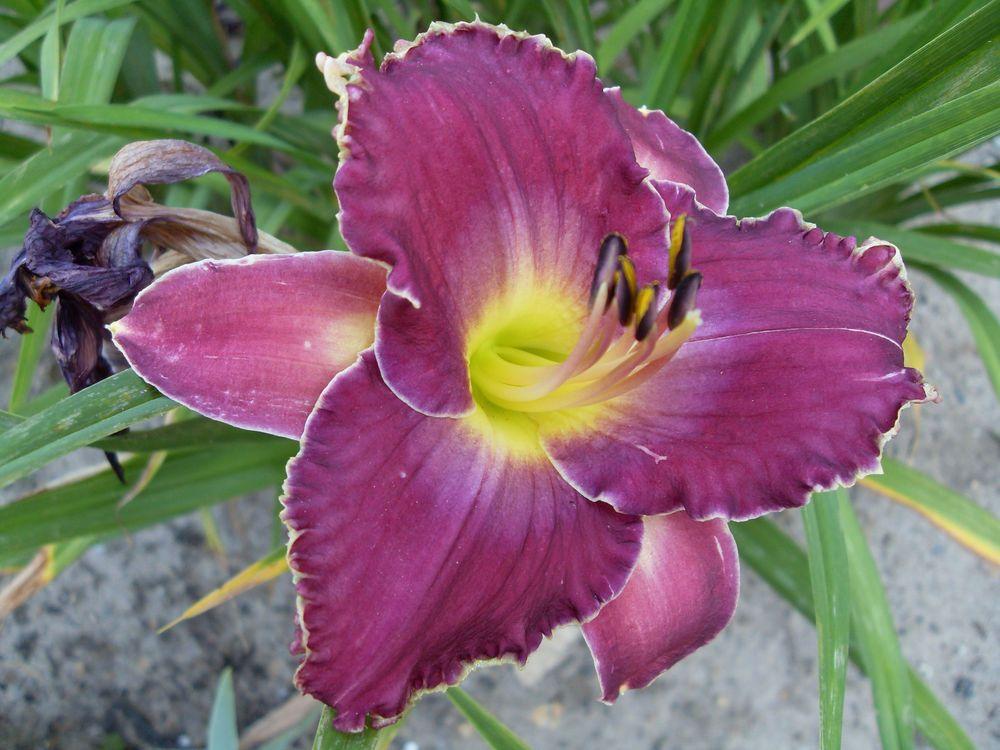 Hemerocallis Taglilie Viking Magic Iris Und Lilien In 2018