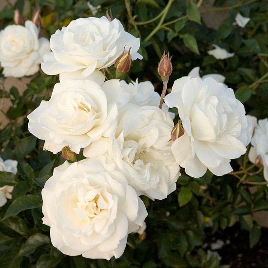 Here Are The Easiest Roses To Grow Rose Care Planting Roses Rose Garden Design