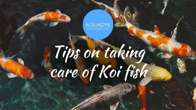 how to take care of koi fish in the winter