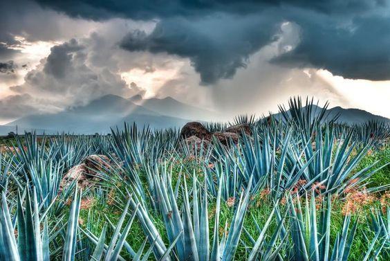 Los residuos de las plantas usadas para producir tequila, serán reutilizados para crear autopartes con agave de material bioplástico.