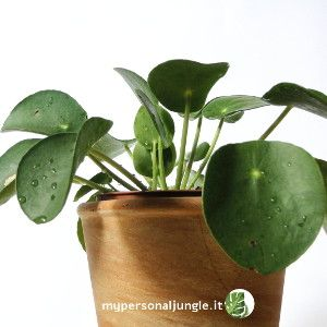 Pilea peperomioides: la pianta delle monete cinese ...