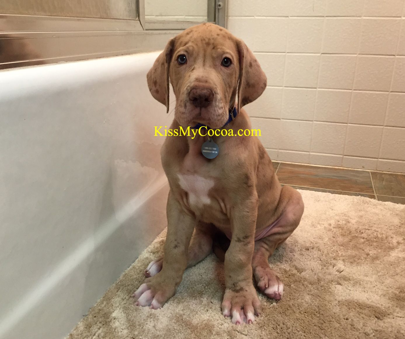 7 wks old Chocolate Merle Great Dane puppy. | Chocolate Great ...